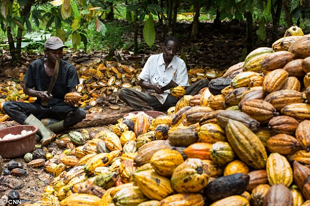 osun-to-become-hub-of-cocoa-production-in-nigeria